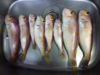 アマダイは釣って楽しく食べておいしい(1).jpg