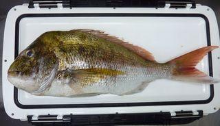 この日の珍魚と食べ頃の真鯛001.JPG