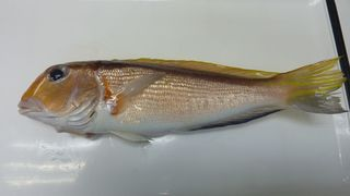 この日の珍魚と食べ頃の真鯛002.JPG