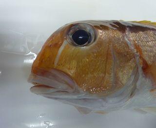 この日の珍魚と食べ頃の真鯛003.JPG