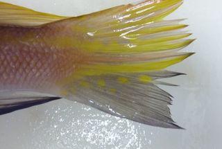 この日の珍魚と食べ頃の真鯛004.JPG