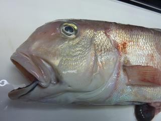 この日の珍魚は超が付く高級魚00102.JPG