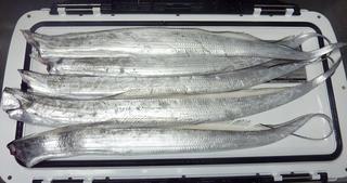 この日の珍魚は超が付く高級魚002.JPG