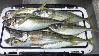 この日の珍魚は超が付く高級魚004.JPG