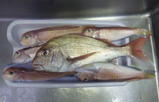 マダイは魚の王様か001.JPG
