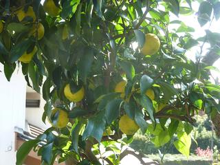 今年も柑橘類が色付きだした002.JPG
