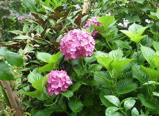 梅雨時の花005.JPG