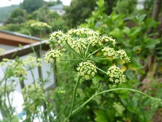 雨の時期 咲いた花々00402.JPG